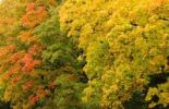 Thumbnail Sycamore (Acer pseudoplatanus), autumn foliage