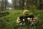 Thumbnail Sulphur tuft (Hypholoma fasciculare)