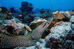 Thumbnail Large Laced Moray or Honeycomb Moray (Gymnothorax favagineus), Ari Atoll, Maldive Islands, Indian Ocean