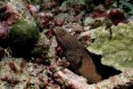 Thumbnail Turkey Moray (Gymnothorax meleagris), Maldive Islands, Indian Ocean