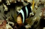 Thumbnail Clark's Anemonefish or Yellowtail Clownfish (Amphiprion clarkii), Maldive Islands, Indian Ocean