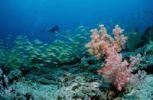 Thumbnail Scuba diver and a school of Bluestripe Snapper (Lutjanus kasmira), Maldive Islands, Indian Ocean