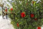 Thumbnail Hibiscus in Lendas, Southern Crete, Greece