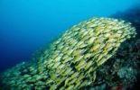Thumbnail School of Bluestripe Snapper (Lutjanus kasmira), Maldive Islands, Indian Ocean