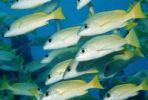Thumbnail School of Bluestripe Snapper (Lutjanus kasmira), Maldive Islands, Indian Ocean