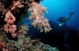 Thumbnail Scuba diver and a coral reef, Maldive Islands, Indian Ocean