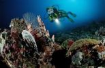 Thumbnail Diver observing a Red Lionfish (Pterois volitans), Maldive Islands, Indian Ocean