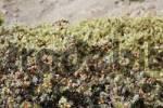 Thumbnail Juniper Juniperus macrocarpa, Southcrete, Crete, Greece