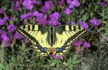 Thumbnail Old World Swallowtail (Papilio machaon) gathering nectar on an Aubrieta