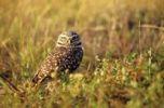 Thumbnail Burrowing Owl (Athene cunicularia)