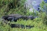 Thumbnail American Alligator (Alligator mississippiensis)