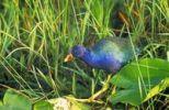 Thumbnail American Purple Gallinule (Porphyrula Martinica)