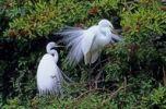 Thumbnail Great Egret (Casmerodius albus)