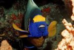 Thumbnail Yellow-mask Angelfish (Pomacanthus xanthometopon), Maldive Islands, Indian Ocean