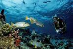 Thumbnail Scuba diver at a coral reef, Maldive Islands, Indian Ocean