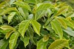 Thumbnail Leaves of a coffee plant (Coffea), Vietnam, Asia