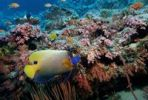 Thumbnail Yellowface angelfish (Pomacanthus xanthometopon), Maldives Island, Indian Ocean