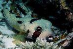 Thumbnail Black-blotched porcupinefish (Diodon liturosus), Maldives Island, Indian Ocean