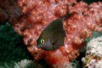 Thumbnail Whitespotted devil (Plectroglyphidodon lacrymatus), Maldives Island, Indian Ocean