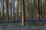 Thumbnail Forest with bluebells, Hallerbos, Hall, Flanders, Belgium, Europe