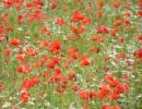 Thumbnail Corn Poppy (Papaver rhoeas) on a meadow near Baden, Austria, Europe