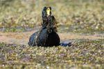 Thumbnail Giant Coot (Fulica gigantea) carrying nesting material, Atacama Desert, Antofagasta Region, Chile, South America