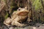 Thumbnail Common toad (Bufo bufo) on the forest floor in a lowland forest near Leipzig, Saxony, Germany, Europe
