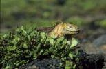 Thumbnail Galapagos Land Iguana (Conolophus subcristatus), Galapagos