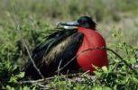 Thumbnail Great Frigatebird (Fregata minor), Galapagos