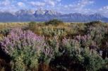 Thumbnail Lupins in front of the Grand Teton Mountains, United States