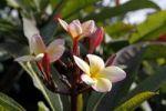 Thumbnail Frangipani (Plumeria), flower, Madeira, Portugal, Europe