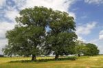 Thumbnail Old free-standing Pedunculate Oaks or English Oaks (Quercus robur), Mecklenburg Elbe Valley Nature Park, UNESCO Elbe River Landscape Biosphere Reserve, Mecklenburg-Western Pomerania, Germany, Euro