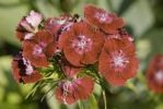 Thumbnail Dianthus, Sweet William (Dianthus barbatus), red blossoms