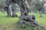 Thumbnail Ancient olive trees (Olea europaea), Majorca, Spain, Europe
