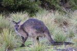 Thumbnail Western Grey Kangaroo (Macropus fuliginosus fuliginosus), Kangaroo Island, Australia