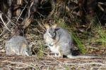 Thumbnail Tammar Wallaby, Dama Wallaby or Darma Wallaby (Macropus eugenii), Kangaroo Island, Australia