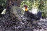 Thumbnail Australian brush-turkey (Alectura lathami), Kangaroo Island, Australia