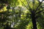 Thumbnail Soft tree fern, Man fern or Tasmanian tree fern (Dicksonia antarctica), Australia