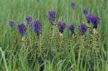 Thumbnail Tufted grape hyacinth, Hairy muscari, Edible muscari (Muscari comosum), Majorca, Spain, Europe