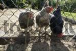 Thumbnail chicken