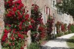Thumbnail Roses on the city walls, Donauwoerth, Donauried, Swabia, Bavaria, Germany, Europe