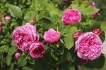 Thumbnail Rosa x portlandia cultivar Yolande d´ Aragon, Portland rose