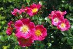 Thumbnail Rose, American Pillar variety (Rosa cultivar American Pillar), rambling rose, climbing rose