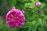 Thumbnail Rose, Gallica rose variety Duc de Fitzjames, historic rose variety from 1837 with fragrant flowers (Rosa gallica cultivar Duc de Fitzjames)