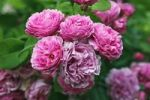 Thumbnail Rose, Bourbon rose variety Louise Odier (Rosa x borboniana cultivar Louise Odier), historical old rose variety from 1851 with highly fragrant flowers