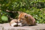 Thumbnail Red fox (Vulpes vulpes), Wildpark Pforzheim zoo, Baden-Wuerttemberg, Germany, Europe