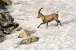 Thumbnail Alpine ibex (Capra ibex), running over a snow field
