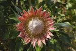 Thumbnail King Protea (Protea cynaroides), national flower of South Africa, Cape Floristic Region, South Africa, Africa