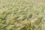 Thumbnail Barley (Hordeum vulgare), in a field