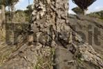 Thumbnail Canary Islands Dragon Tree Dracaena draco on Socotra island, UNESCO World Heritage Site,  Yemen